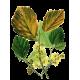 Hamamélis virginiana Bio en gélules - Circulation veineuse