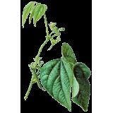 Haricot cosse en gélules (Phaseolus vulgaris)