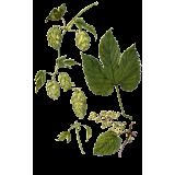Houblon en gélules (Humulus lupulus)