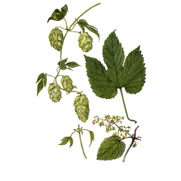 https://www.abcdelanature.com/2528-thickbox/houblon-gelules-herboristerie.jpg