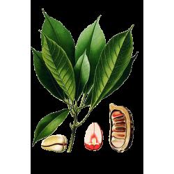 Kola noix en gélules