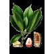 Noix de Kola en gélules (Cola acuminata)