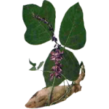 Kudzu racine en gélules (Pueraria lobata)