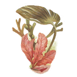 Laminaires algue en gélules (Laminaria digitata)