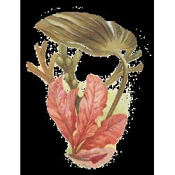 Laminaire algue en gélules