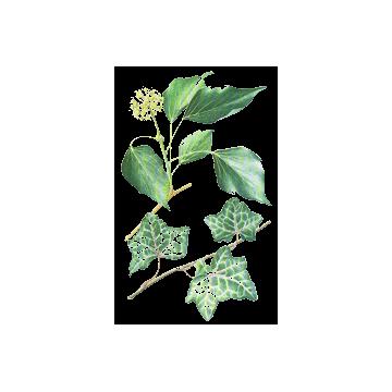 https://www.abcdelanature.com/2543-thickbox/lierre-grimpant-herboristerie.jpg