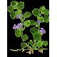 Lierre Terrestre en gélules pour les voies respiratoires (Glechoma hederacea)