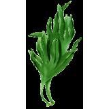 Lithotamne algue en gélules (Lithothamnium calcareum)