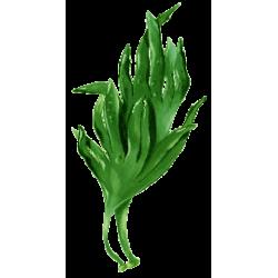 Lithotamne algue en gélules