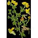 Lotier en gélules (Lotus corniculatus)