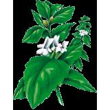 Marrube blanc en gélules (Marrubium vulgare)