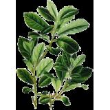Maté vert en gélules (Ilex paraguariensis)