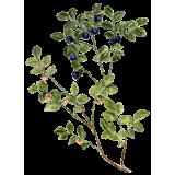 Myrtille feuilles en gélules (Vaccinum myrtillus)