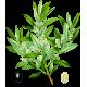 Olivier feuille Bio en gélules (Olea europaea)