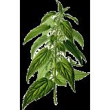Ortie Piquante feuille Bio en gélules (Urtica dioïca)