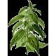 Ortie Piquante racine en gélules (Urtica dioïca)