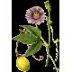 Passiflore bio en gélules (Passiflora incarnata)