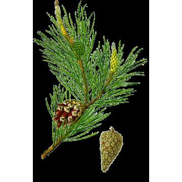 https://www.abcdelanature.com/2592-thickbox/pin-bourgeons-gelules-herboristerie.jpg