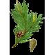 Pin Bourgeons en gélules (Pinus sylvestris)
