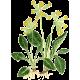 """Primevère Officinale en gélules (Primula veris - """"officinalis"""")"""