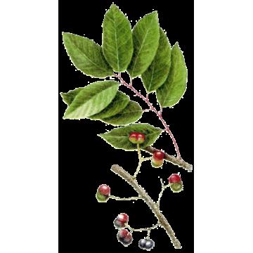 Pygeum Africanum en cápsulas - ABC de la naturaleza: herbolario en ...