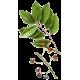Pygeum Africanum en gélules