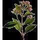"""Quinquina écorce en gélules (Cinchona pubescens - """"officinalis"""")"""