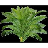 Sabal Serrulata (Palmier nain) extrait 24% Fatty acid (Serenoa repens)