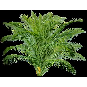 https://www.abcdelanature.com/2617-thickbox/sabal-serrulata-extrait-palmier-nain.jpg