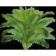 Sabal Serrulata Palmier nain en gélules