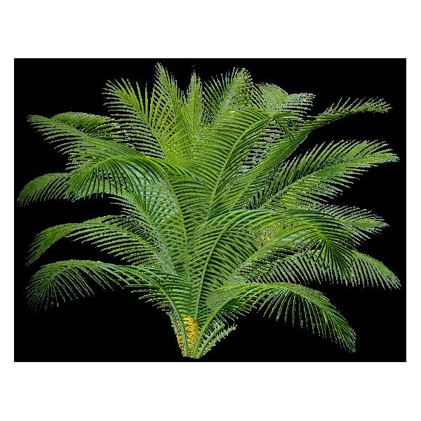 Palmier nain sabal serrulata extrait en g lules abc de - Image palmier ...
