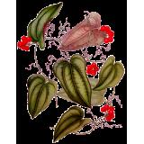 Salsepareille en gélules (Smilax officinalis medica)