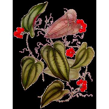 https://www.abcdelanature.com/2618-thickbox/salsepareille-gelules-herboristerie.jpg