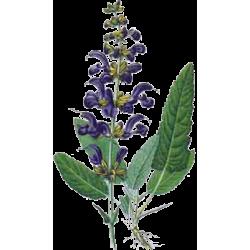 Sauge officinale bio en g lules abc de la nature herboristerie en ligne - Planter de la sauge ...