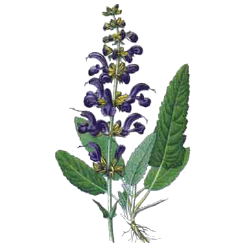 https://www.abcdelanature.com/2620-thickbox/sauge-officinale-bio-herboristerie.jpg
