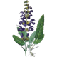Sauge officinale bio en gélules (Salvia officinalis)