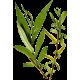 Saule Blanc en gélules (Salix alba)