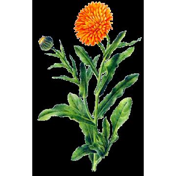 Souci En Gelules Abc De La Nature Herboristerie Phytotherapie