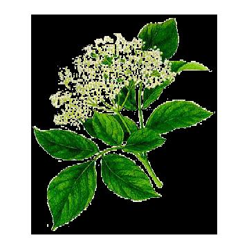 Sureau fleurs en gélules