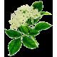 Sureau fleurs en gélules (Sambucus nigra)