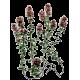 Thym de Provence BIO en gélules (Thymus vulgaris)
