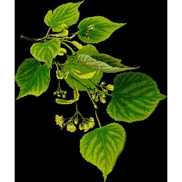 https://www.abcdelanature.com/2630-thickbox/tilleul-aubier-gelules-herboristerie.jpg