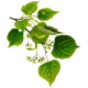 Tilleul Aubier en gélules (Tillia tomentosa)