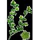 Tribulus terrestris en gélules (aphrodisiaque naturel)