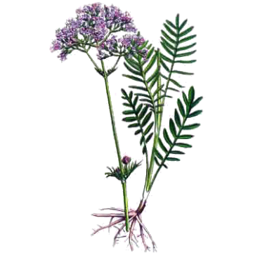 Valeriane en gélules