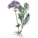 Valériane en gélules (Valeriana officinalis)