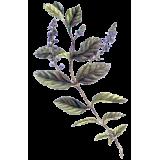 Véronique en gélules (Veronica officinalis)