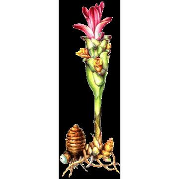 https://www.abcdelanature.com/2642-thickbox/zedoaire-gelules-herboristerie.jpg