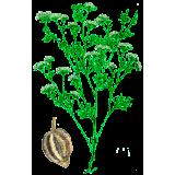 Huile essentielle Ajowan Sauvage (Trachyspermum ammi L.)