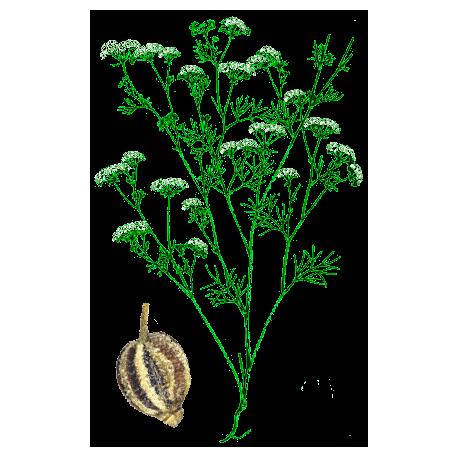 Huile essentielle ajowan sauvage abc de la nature aromath rapie - Huile essentielle pamplemousse coupe faim ...